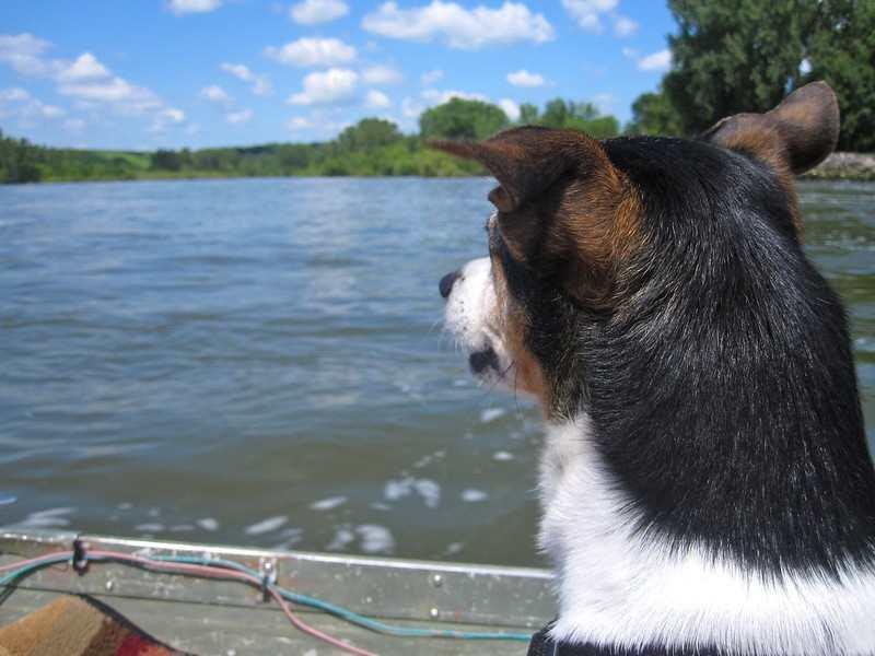 Do rat terriers like water