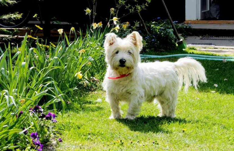 Why westies are the worst? Or are they?