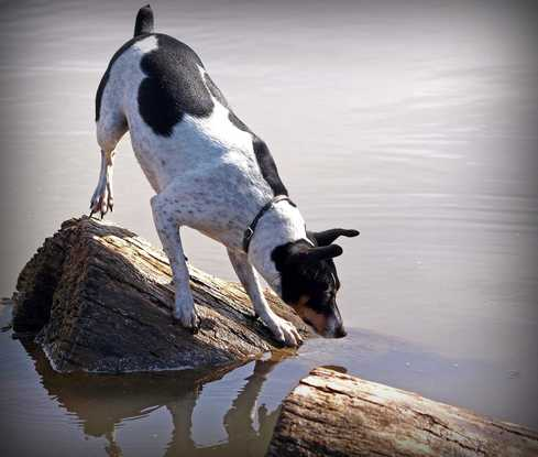 can rat terriers swim