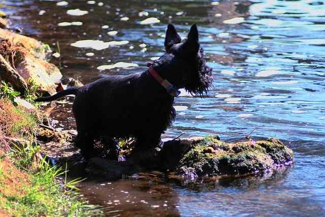do terriers like water